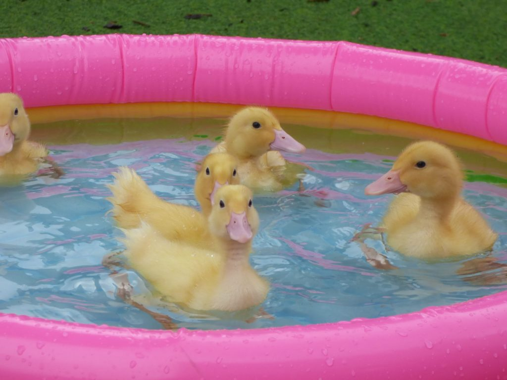 ducklings in a small pink paddling pool